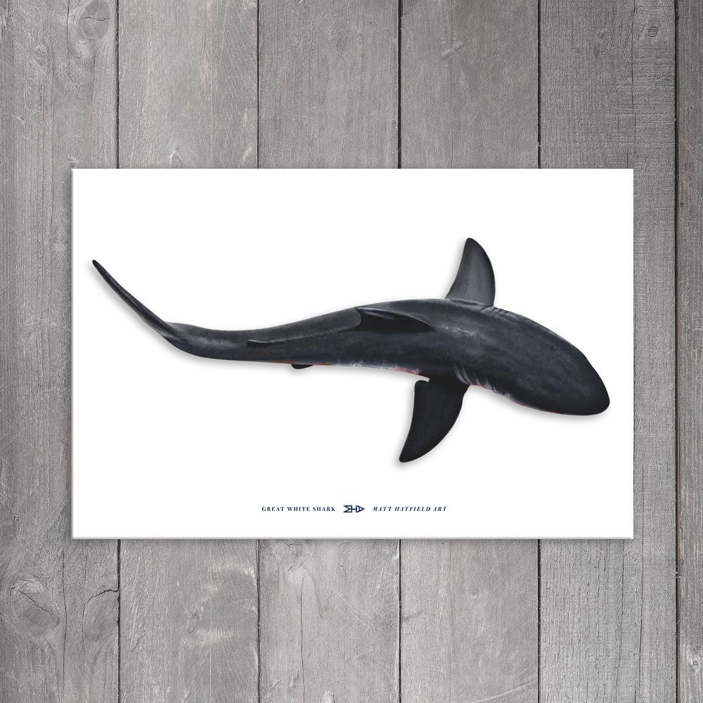 Great White Shark View From Above Canvas Art Print 24 X 36 Matt Hatfield Art